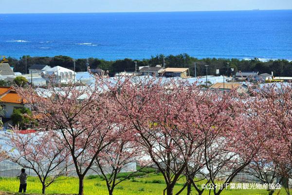 千葉 抱湖園の桜