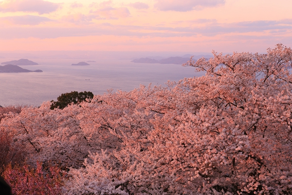 香川 紫雲出山の桜